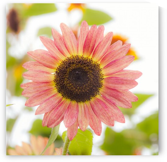 Rare Pink Helianthus Sunflower by bj clayden photography