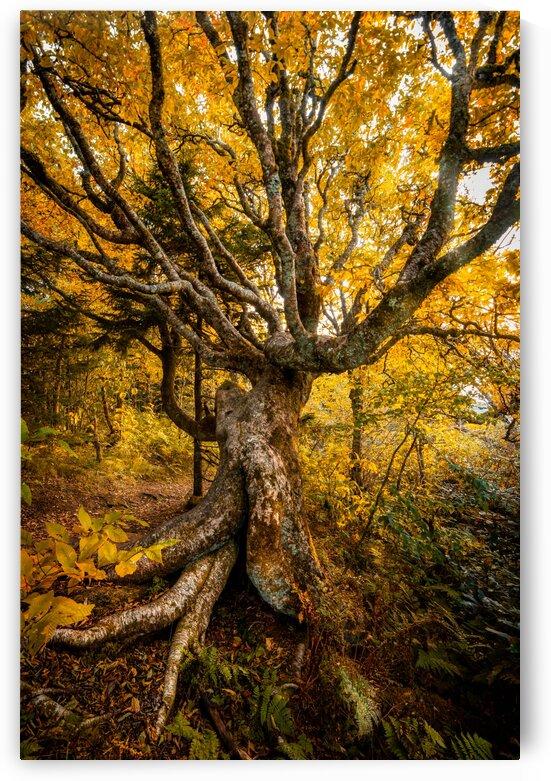 Craggy Beech by Mark Daniels
