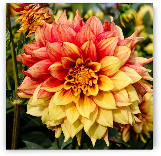 Red and Yellow Dahlia by bj clayden photography