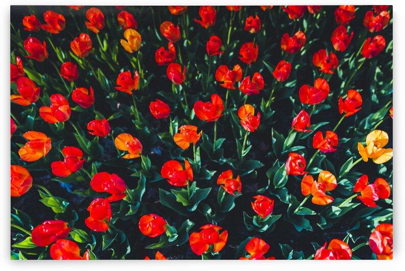 Tulip Field by James W Gray