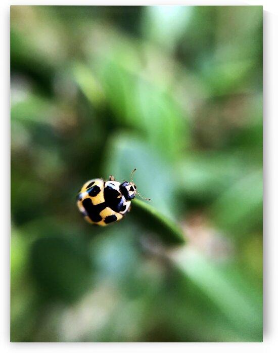 16_Yellow Ladybug - Coccinelle Jaune_7086 by Emmanuel Behier-Migeon