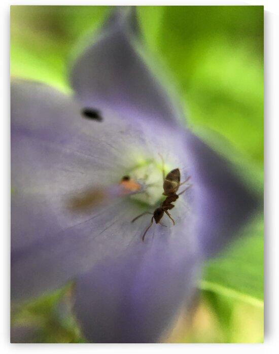 02_Ant In Purple Flower - Fourmi Et Fleur Pourpre_7139 by Emmanuel Behier-Migeon