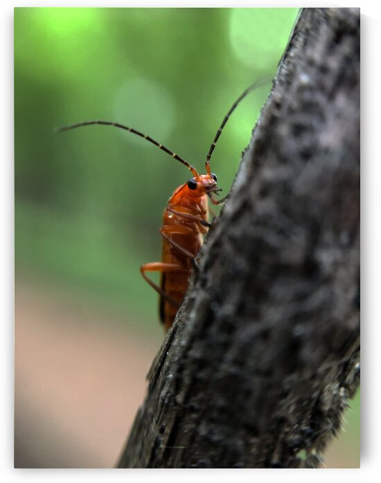 13_Curious Red Bettle - Curieux Coleoptere Rouge_7421 by Emmanuel Behier-Migeon