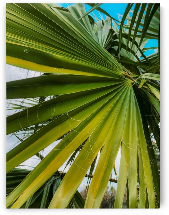 green palm leaves texture with blue sky background by TimmyLA