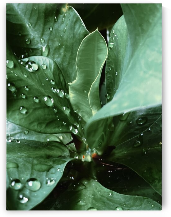 Closeup green leaves plant with drop of water by TimmyLA