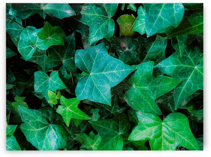 Closeup green ivy leaves garden background by TimmyLA