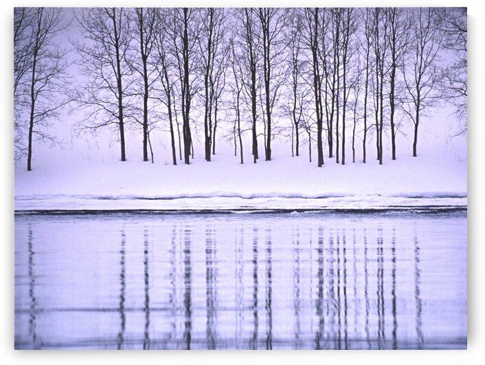 winter aspen by David J Tilley