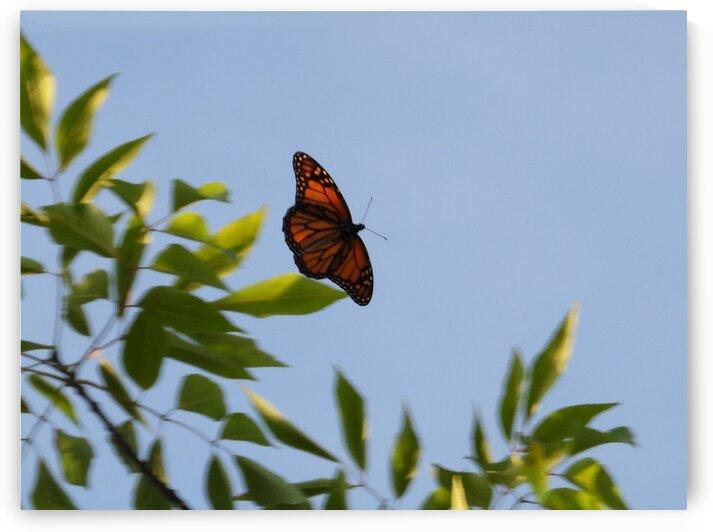 Floating Monarch  by Debbie Caughey
