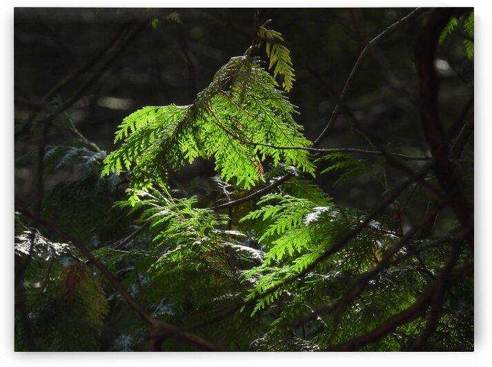 Cedars & Sunlight by Debbie Caughey