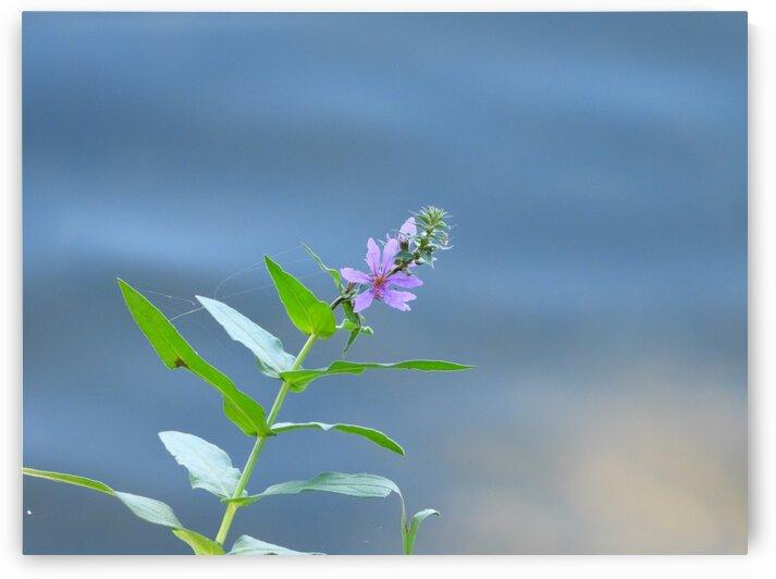 Shade of Purple by Debbie Caughey