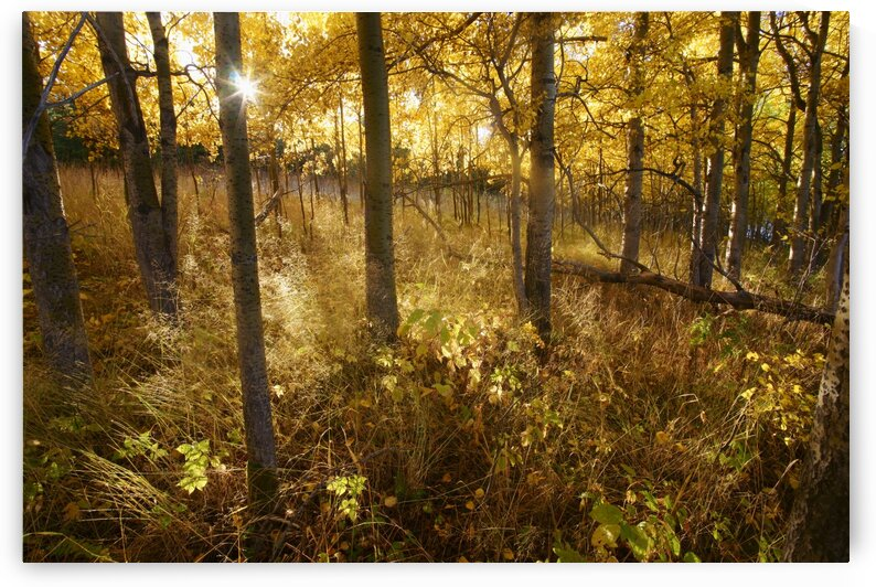 sun rising through aspens by David J Tilley