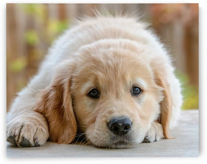 Golden Retriever Puppy by One Simple Gallery