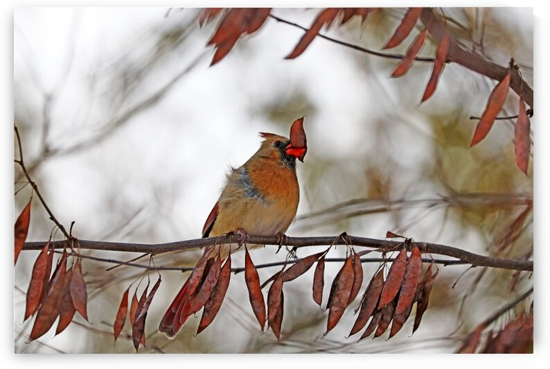 Red Cardinal And The Pod by Deb Oppermann
