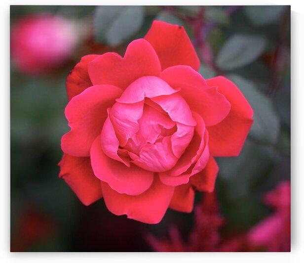 Rose by Scott Deyo
