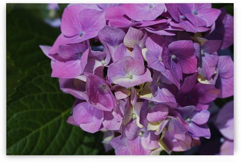 Hydrangea Of Blue Pink by Joy Watson