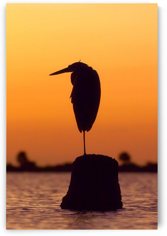 Great Blue Heron: Sunrise Silhouette by Peter Pasterczyk