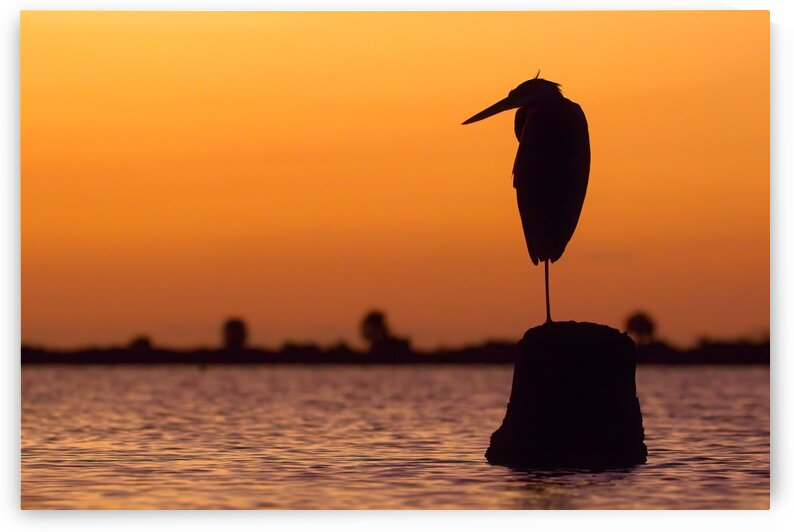 Great Blue Heron: Sunrise Silhouette 2 by Peter Pasterczyk