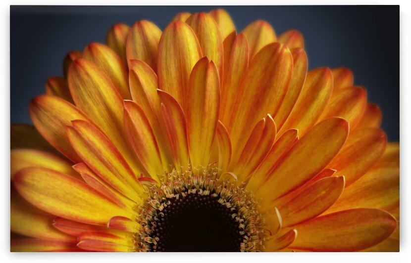 Orange Gerbera by Adrian Brockwell
