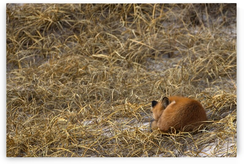 Red Fox Sleeps by Peter Pasterczyk