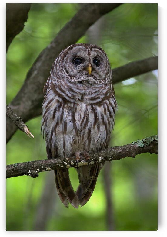 Portrait of a Barred Owl by Peter Pasterczyk