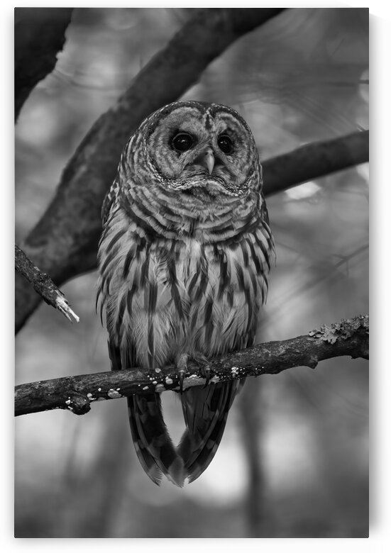 Portrait of a Barred Owl In Monochrome by Peter Pasterczyk