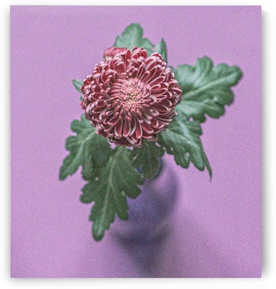 flower chrysanthemum  by Oksana Demianets