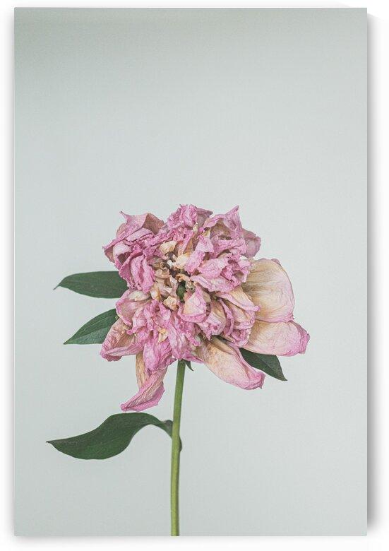 flower peony  by Oksana Demianets