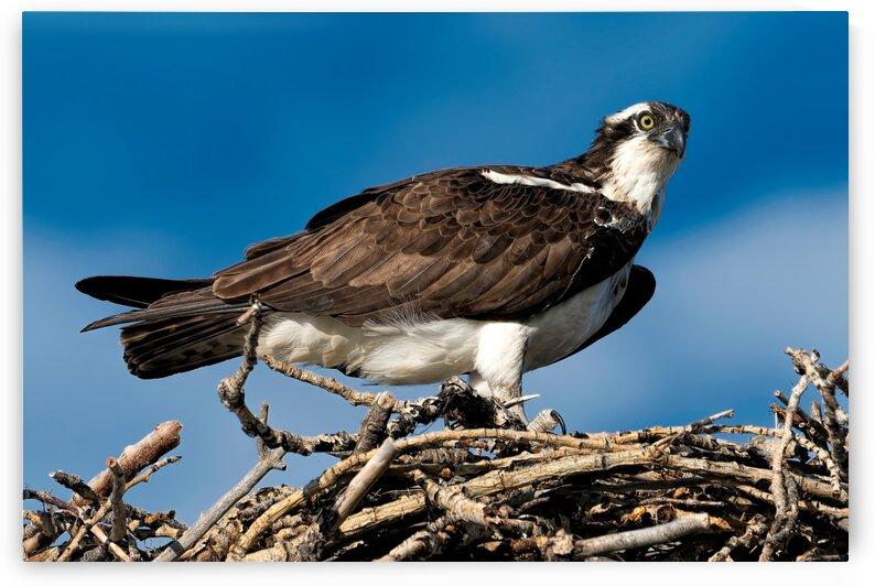 Osprey by Andrew Wasik