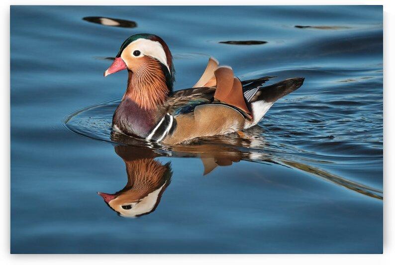 Mandarin Duck by Andrew Wasik
