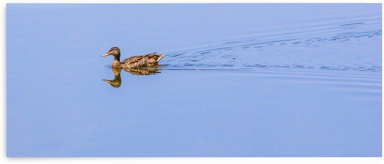 Duck on Mirror Lake by Darryl Brooks