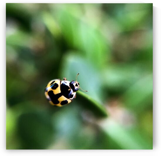 16_Green Ladybug - Coccinelle Jaune_7086_SQUARE by Emmanuel Behier-Migeon