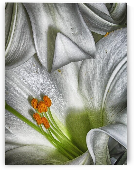 lily by Eugene Rosenthal