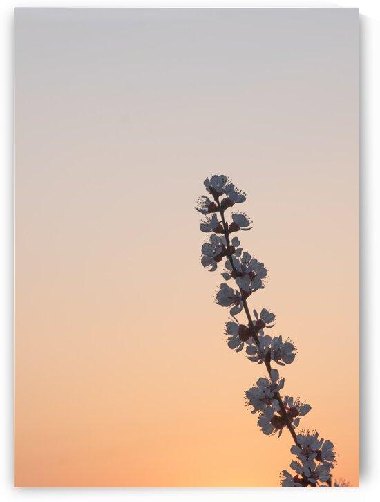 cherry tree branch by Oksana Demianets