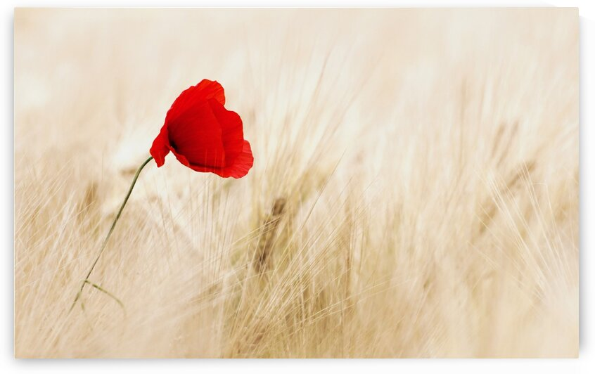 Red Poppy Flower by Sunny Mark