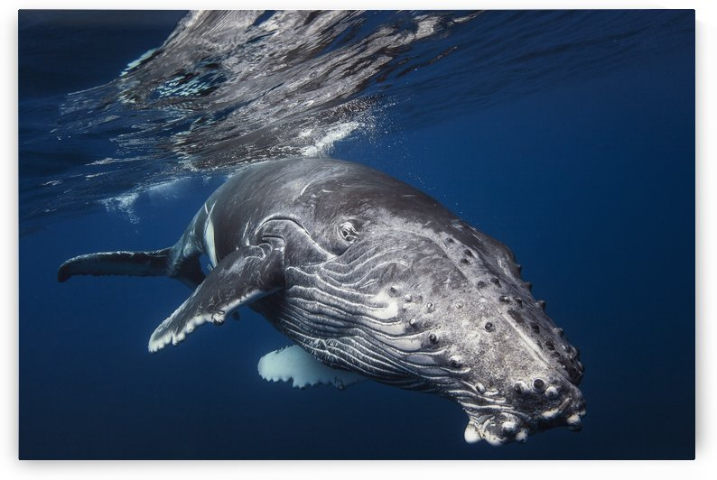 Humpback Whale by 1x