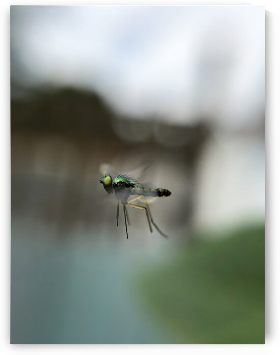 11_Flying Fly_6953 by Emmanuel Behier-Migeon