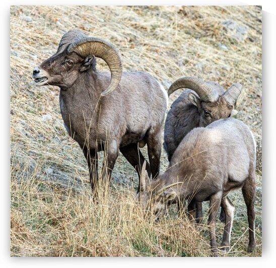 Big Horn Sheep by Dave Massender