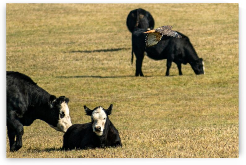 Cows and Red Tailed Hawk by Dave Massender