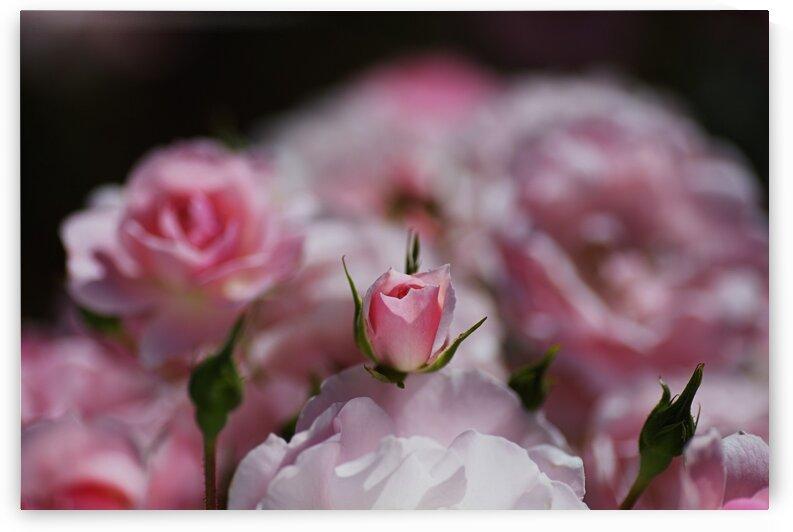 Rose Bud Is Resting  by Joy Watson