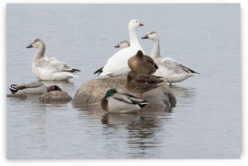 PMV Canard Duck by melanie vachon