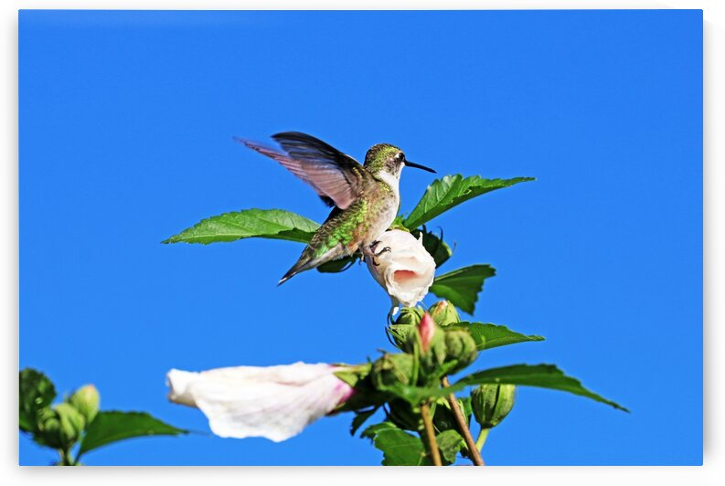 Hummingbird And Rose Of Sharon by Deb Oppermann