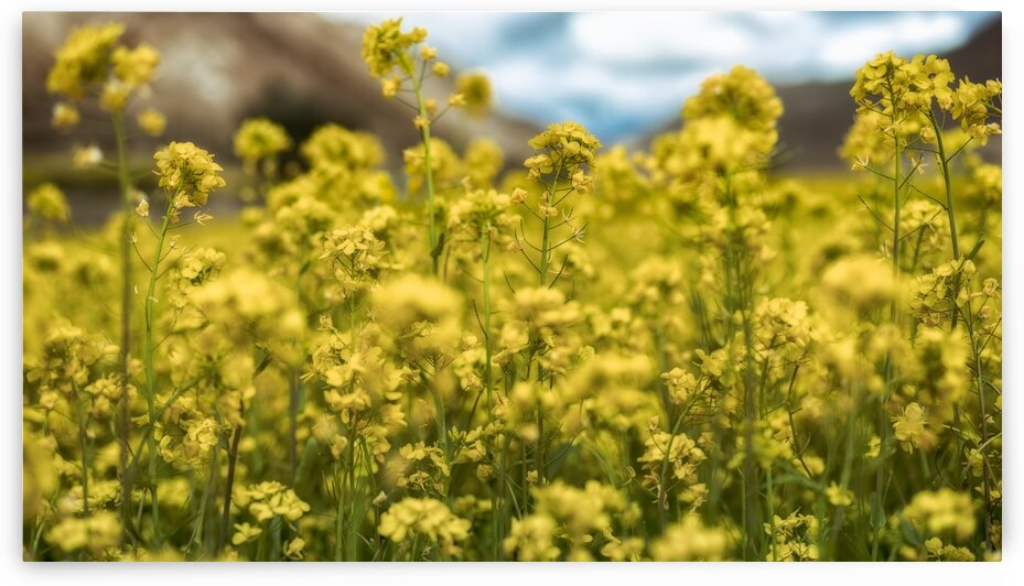 Meadows In Yellow Flowers In The Himalayas Tibet 49   6-2016 by Vlad Meytin