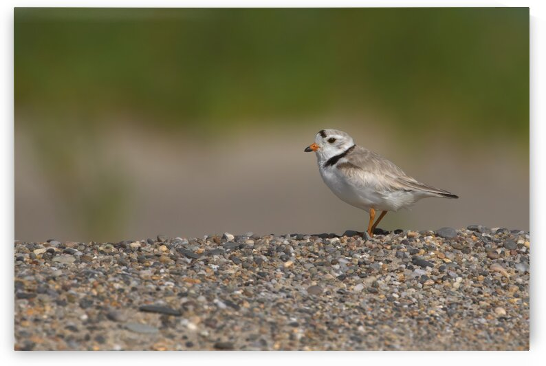 Plover Over Pebbles by Peter Pasterczyk