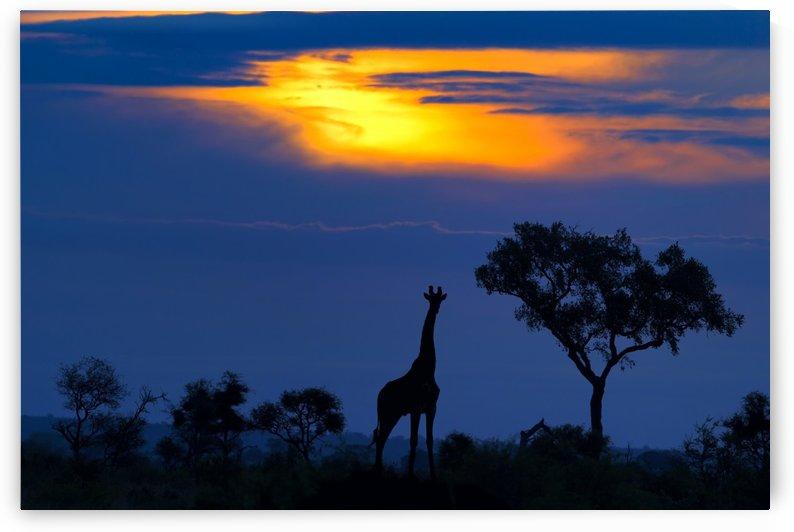A Giraffe at Sunset by 1x