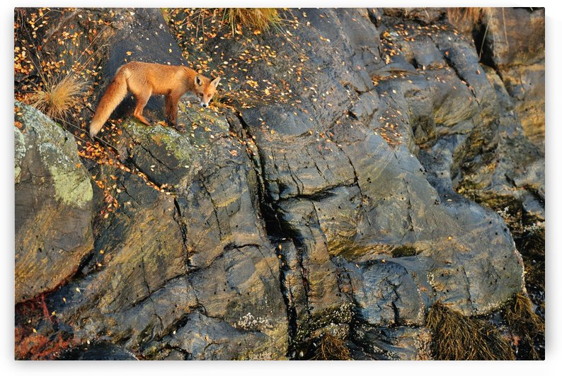 Fox on the Rocks by Yves Adams  by 1x