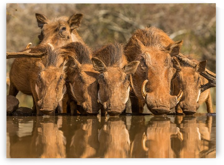Warthog Family Reunion by Jaco Marx  by 1x