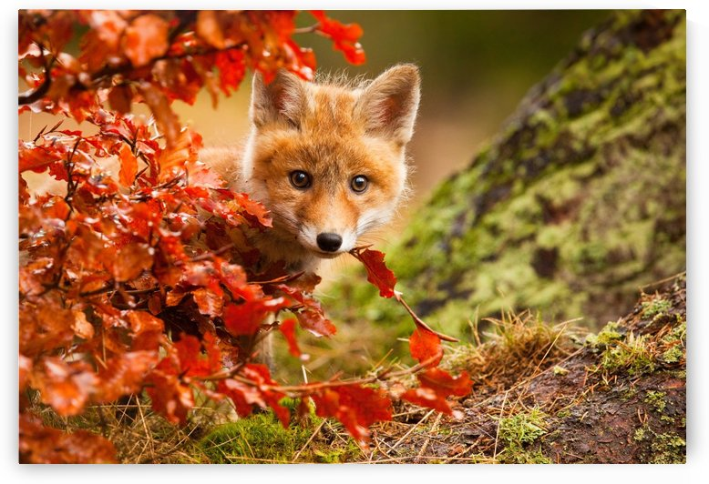 Fox by 1x