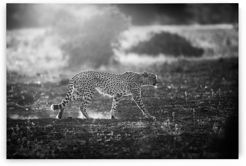 Backlit Cheetah by Jaco Marx  by 1x