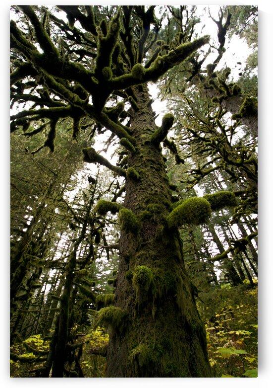 MOSS COVERED TREES - FT. ABERCROMBIE KODIAK ISLAND by Shelley Kranda
