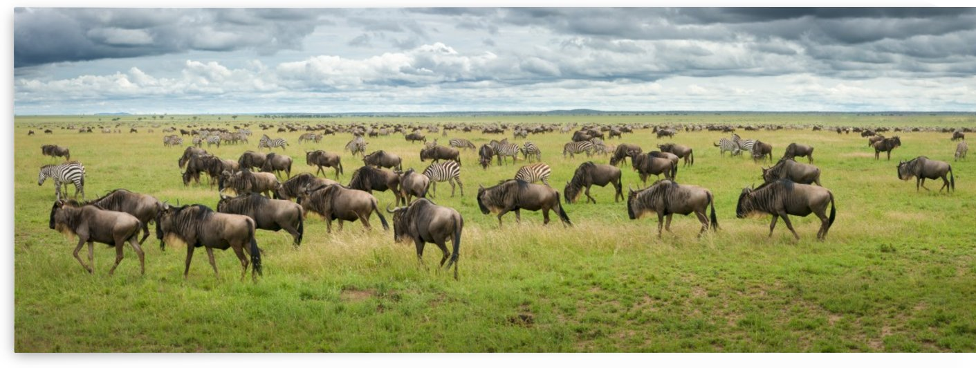 Great Migration in Serengeti Plains by Kirill Trubitsyn  by 1x